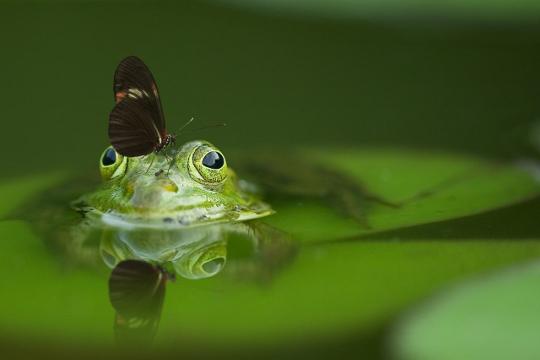 Kikker met vlinder